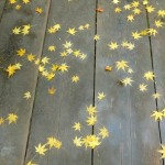 PB280820  feuilles jaunes d'erable