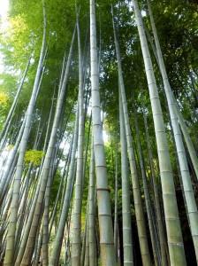 PB280826 bambou de Meigetsu-in (2)